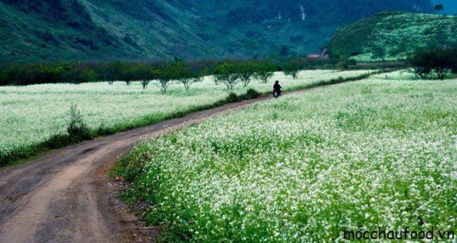 Du lịch Mộc Châu tháng 11 cùng đắm say trong sắc trắng của hoa cải - 2