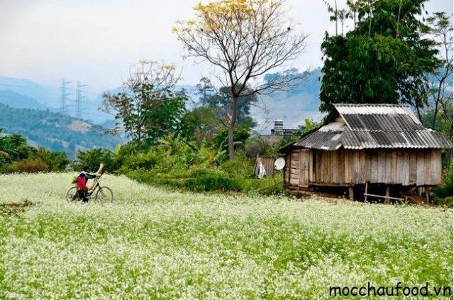 Du lịch Mộc Châu tháng 11 cùng đắm say trong sắc trắng của hoa cải - 4