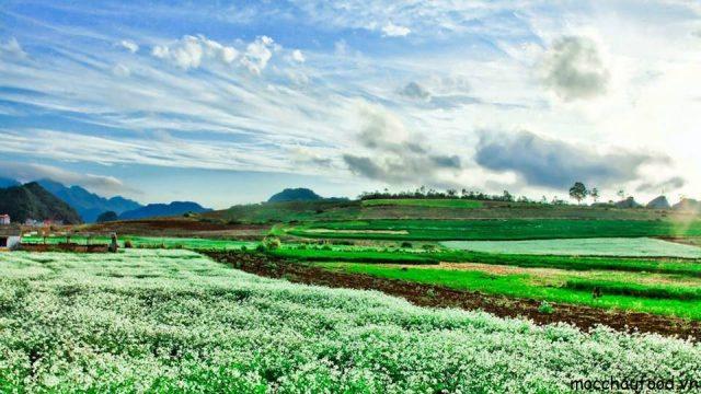 Du lịch Mộc Châu tháng 11 cùng đắm say trong sắc trắng của hoa cải - 6