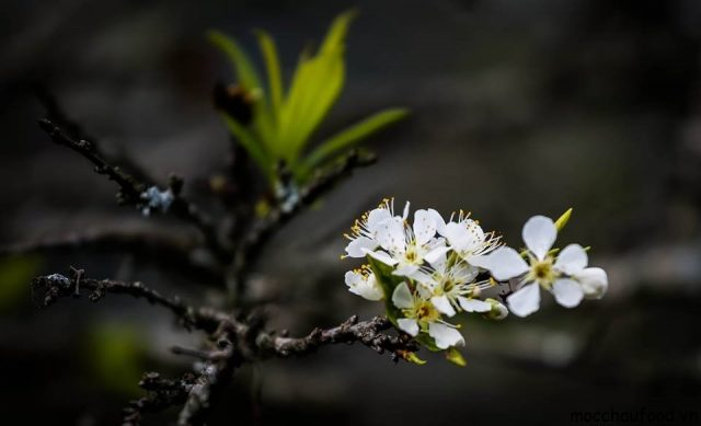 Những lưu ý khi đi du lịch Mộc Châu tự túc mùa hoa mận 2018 - 1
