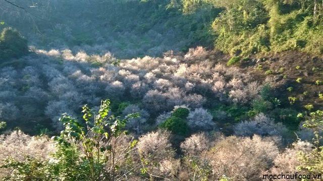 Những lưu ý khi đi du lịch Mộc Châu tự túc mùa hoa mận 2018 - 5