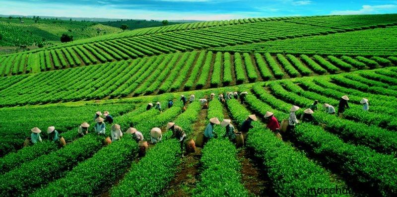 Vùng nguyên liệu trà Oolong Thanh Tâm của công ty Mộc Sương