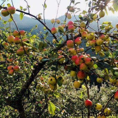 Qủa táo mèo tươi được trồng tại núi rừng Tây Bắc